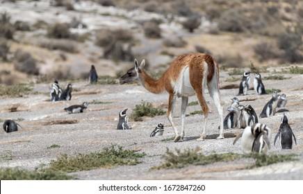 "Guanacos "" Lama guanicoe "" walk through a Magellanic penguin  colony in Argentina."