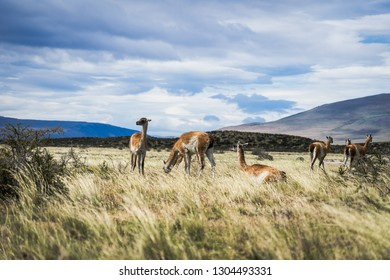 Guanacos in wild patagonia