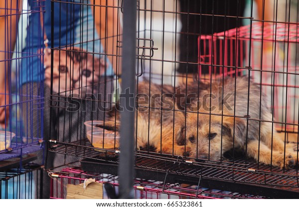 GUANGZHOU, CHINA - JUNE 22. 2017 - Volunteer veterinarians treat sick and wounded dogs rescued from a truck heading towards the Yulin Dog Meat Festival in the improvised shelter.