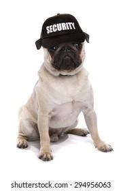 guard dog pug studio cutout