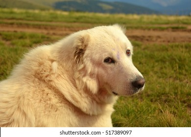 guard dog that guards the sheep in the mountains of the Carpathian Mountains in Ukraine