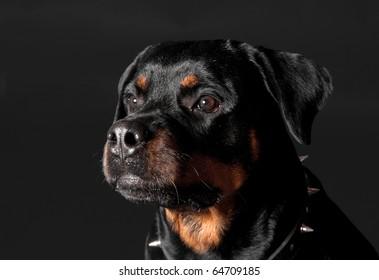 guard rottweiler portrait
