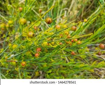 Guardalobo or retama loca plant, Osyris alba, parasitic plant growing in Arousa Island, Galicia, Spain