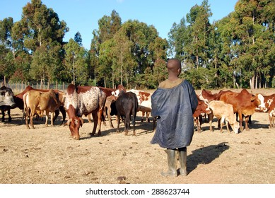 The guardian of cows - An African child while checking his small herd of cows in Pomerini in Tanzania - Africa