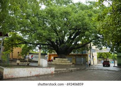 Guatemala, El Jicaro – May 27, 2012: Ceiba pentandra in park El Jicaro, May 1929, after rain in small village. Editorial.