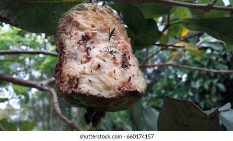 Guava with a biting insect eaten in a nature background.