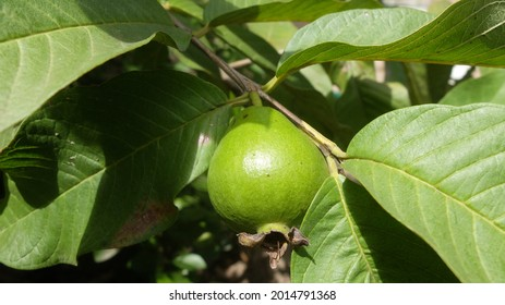 Guava fruit on guava branch