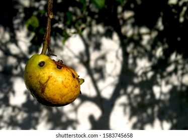 Guava fruit on branch in front of tree shadows