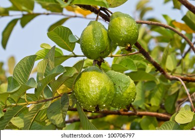 Hd Images Of Guava Fruit