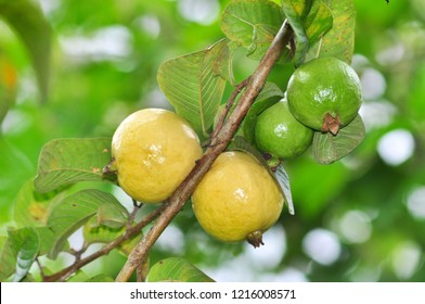 guava fruits on tree