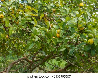 Guava tree with a lot of mature and green fruits