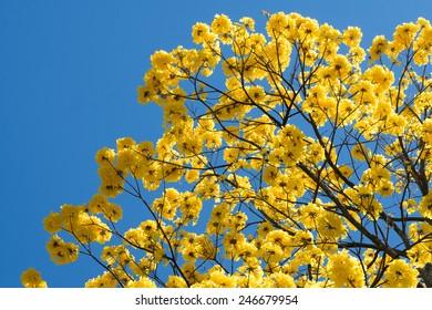 Guayacan Tree against blue sky