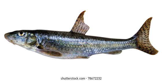 Gudgeon (Gobio gobio) - a small freshwater fish, family Cyprinidae. Widely distributed in rivers of continental Europe