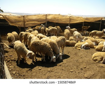 GUELMIM, MOROCCO - 15 SEPTEMBER 2019: A group of ewes inside a traditional hamlet in a village in southern Morocco.