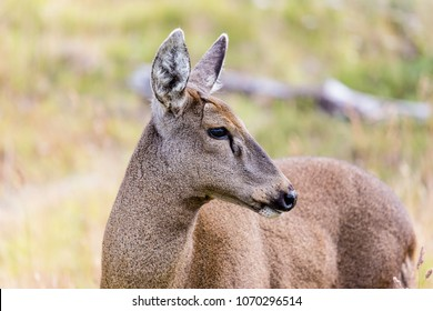 South Andean Deer Images, Stock Photos & Vectors | Shutterstock