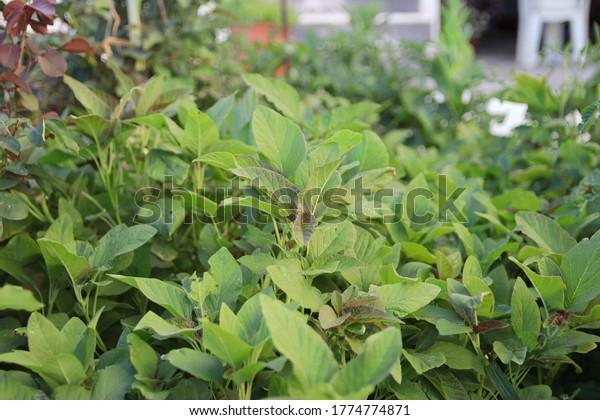 guernsey-pigweed-plants-garden-known-600