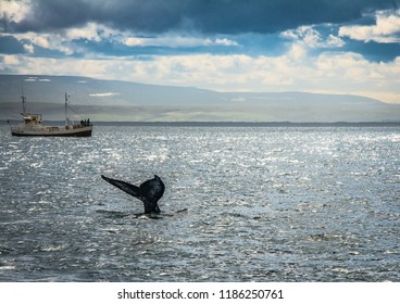 Guests of a whale watching tour observe a humpback whale in open water near husavik, iceland