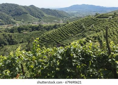 Guia hills covered with vineyards, in the municipality of Valdobbiadene, to produce Prosecco Superiore di Conegliano-Valdobbiadene, a sparkling wine.