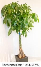 Guiana Chestnut (Pachira aquatica) plant in grey pot in indoor setting