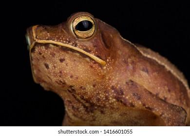 Guiana shield leaf toad (Rhinella lescurei) male