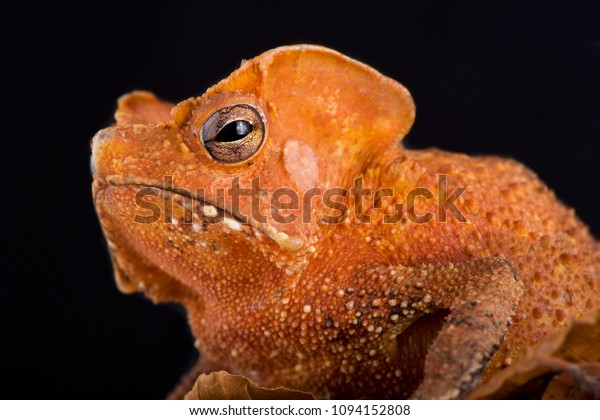 The Guiana Shield Leaf Toad (Rhinella lescurei) is a bizar, alien look, toad species found in Suriname,Guiana and probably Brazil.