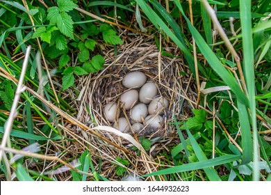 Guide of bird nests. Tufted duck (Aythya fuligula) nest on islands of Eastern part of Baltic sea. Plants near - cereals and raspberries. Beginning of incubation of clutch, a little of down in nest