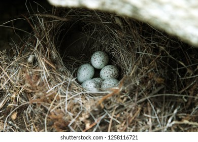 Guide to bird nests. The white Wagtail's nest (Motacilla alba) under a stone. Clutch of small bird is made of thin blades of grass, six very speckled tiny eggs