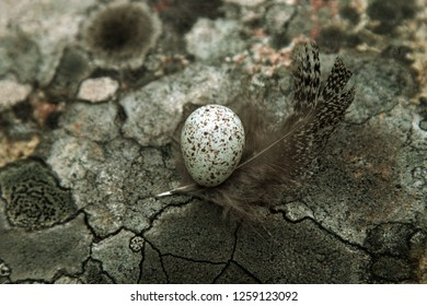 Guide to bird nests. The white Wagtail's nest (Motacilla alba) Tiny egg lies on geographical lichen (Rhizocarpon geographicum, gray) background on a feather of black grouse