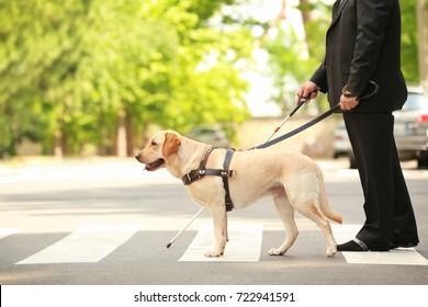 Guide dog helping blind man on pedestrian crossing