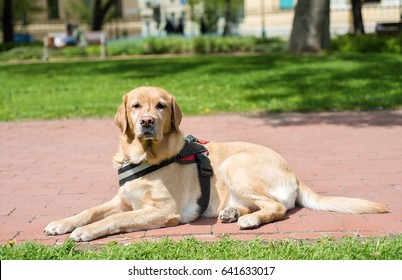 Guide dog is resting in the park. Labrador dog