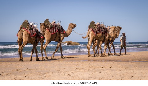 Guide leading camels along Lighthouse Beach in Port Macquarie, NSW, Australia