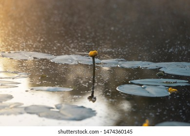 Guiet lake with water lily flowers in the morning in the fog.  Nuphar lutea or brandy-bottle plant. Aquatic plant grows in shallow water and wetlands. Place for text.