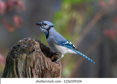 Guilderland,NY/USA - November 2018:  A Blue Jay perched on a stump with a sunflower seed in its beak.