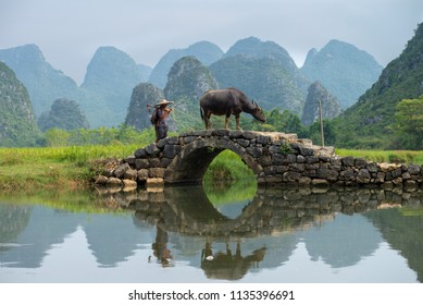 GUILIN, CHINA - SEPT 20, 2017: A farmer walks his buffalo home after a day's work in Huixiang, a small town with karst and limestone landscape