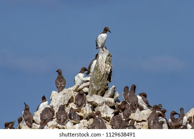 The Guillemot colony perched on Elegug Stack in Pembrokeshire, Wales, UK