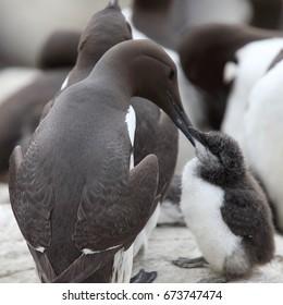 Guillemot, (Common Murre, Uria aalge), parent and juvenile, Farne Islands, Northumbria, England, UK.