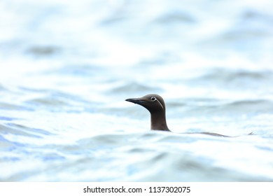 Guillemot head on surface