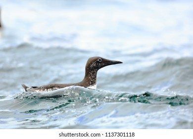 guillemot on surface