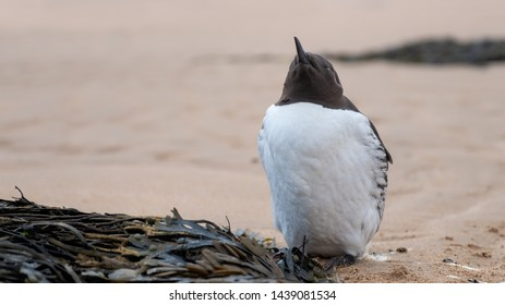 Guillemot portrait standing on a sandy beach with his head up and his eyes closed