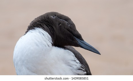 Guillemot portrait standing on a sandy beach looking over his shoulder. There are two ticks in the side of his head.