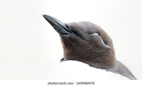 Guillemot portrait swith his eyes closed