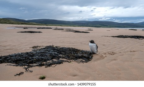Guillemot standing on Brora beach in Sutherland in the Highlands of Scotland