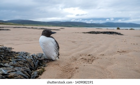 Guillemot standing on a Brora beach in the Highlands of Scotland