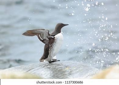 Guillemot in water splashes