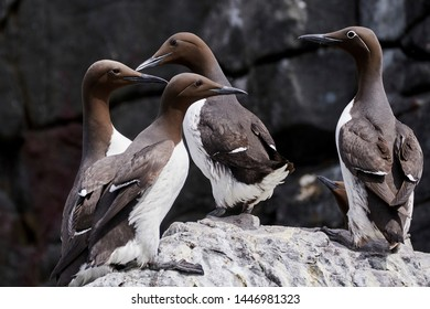 Guillemots and one bridled guillemot (with white eye) pictured at Farne Island in Northumberland