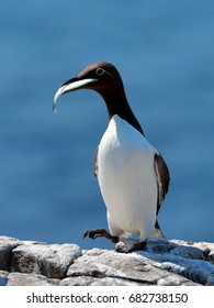Guillimot with fish in mouth