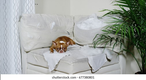 Guilty looking boston terrier lying on a torn up piece of white couch in a living room