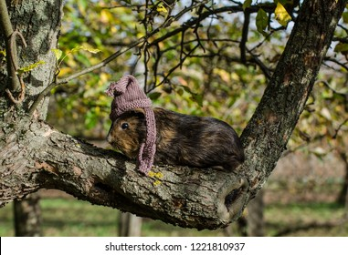 Guine pig wears knitted scarf and cup and sits on a tree - funny autumn scene from the garden
