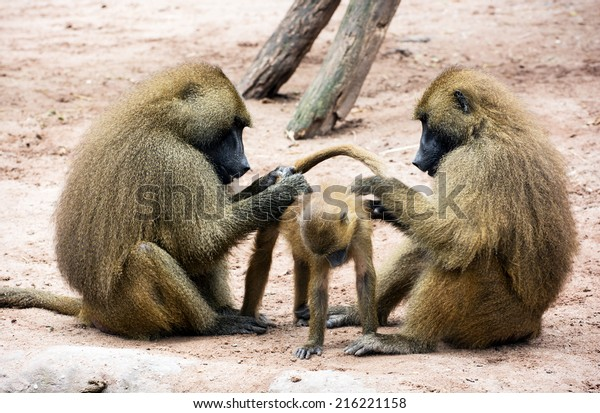 Guinea baboon family (Papio papio). Parents caring for the young.
