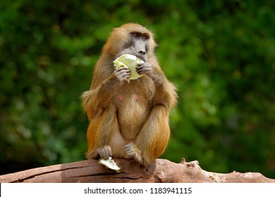 Guinea baboon, Papio papio, monkey from Guinea, Senegal and Gambia. Wild mammal in the nature habitat. Monkey feeding fruits in the gren vegetaton. Wildlife nature in central Africa.